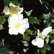 Bachblüten Original Wild Rose 20 ml (20 ML)