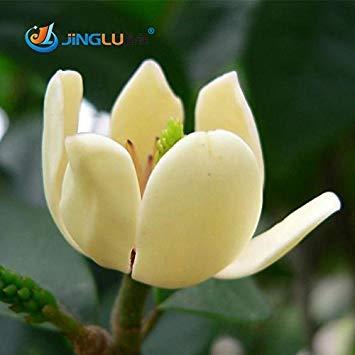 Vistaric 10 pièces/lot énergisantes Michelia Graines de Fleurs Magnolia Alba, graines de Plantes Bonsai Plantes à Parfum Jardin de Maison