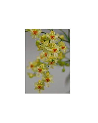 Stk - 1x Oncidium Tiny Twinkle Gold Dust Miniatur Duft Orchidee OW156 - Seeds Plants Shop Samenbank Pfullingen Patrik Ipsa