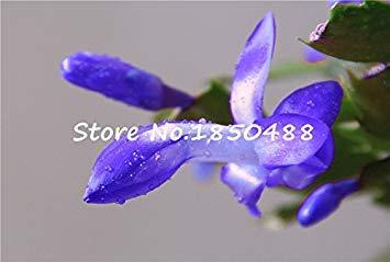 VISTARIC Superior Seeds Förderung !!! 200 Stück Feigenkaktus Kaktus essbaren Fruchtsamen Blumengarten Bonsai, Opuntia leptocarpa, selten, swe