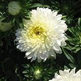 アスターポンポン白い花の種(エゾギクポンポン)200個の+種子