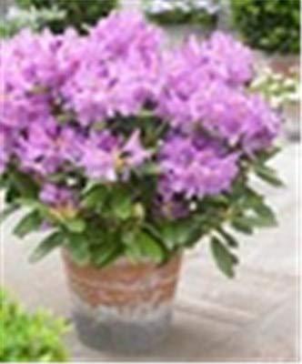 RETS 100 PC/Bag Japanische Azalee Bonsai, Rhododendron Azalea Außen Blumen Bonsai-Baum Sämling Pflanze Hausgarten einfach zu wachsen: 2
