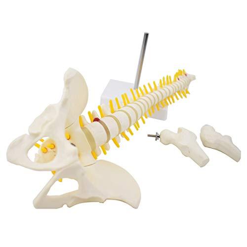 HUIGE 45 cm Wirbelsäulenanatomisches Modell, Menschliches Skelett-Wirbelsäulenmodell Mit Becken Und Femur, Für Das Lehrmodell Für Medizinische Anatomiestudien
