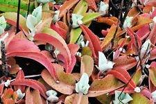 vegherb Kalanchoe Gastonis-Bonnieri, Eselsohren Pflanze Exotische Sukkulente Samen 50 Samen