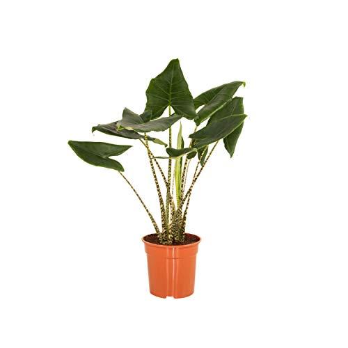 Indoor-Helden Alocasia 'Zebrina' - Pfeilblatt, Topf-Ø: 24 cm, Höhe: 100 cm Tropenwurz, Alokasie, Elefantenohr Zimmerpflanze
