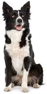 Border Collie ~ Dog Breed ~ Edible Cake Topper - D6611