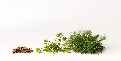 200 graines Aromatiques - ANETH - Anethum graveolens