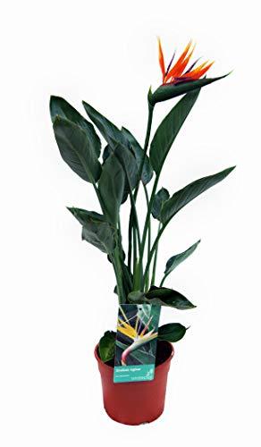 Zimmerpflanze von Botanicly – Paradiesvogelblume – Höhe: 90 cm – Strelitzia Reginae