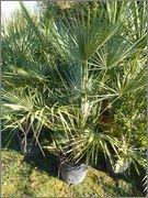 Lj4S -promo : Palmier En Touffe:Chamaerops Humilis -15°C