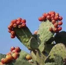 Nopal RED Obst Nopalina Nopalea Exotische Essbare Kaktus Susser Saft Samen 150 Samen