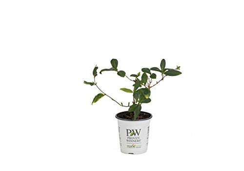 4.5 in. qt. Scentsation Honeysuckle (Lonicera) Live Shrub, Yellow Flowers and Red Berries
