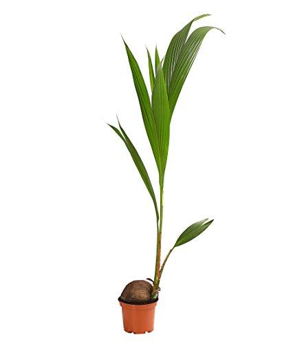 Dehner Kokospalme, prächtige Blattwedel, ca. 150-160 cm, Ø Topf 19 cm, Zimmerpalme