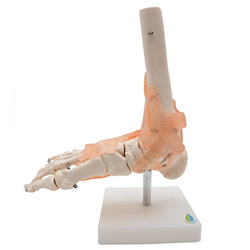 Foot Joint Model with Ligaments,Kouber Human Anatomical Model,Life Size,Height 11