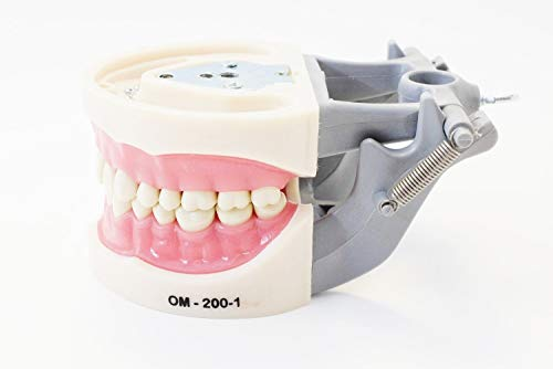 Dental Teaching Study Typodont Model 200 Style Kilgore Nissin Removable Teeth