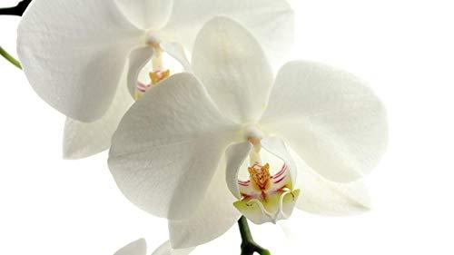 Puzzle 1000 Piezas  Orquídeas Flores Pétalos