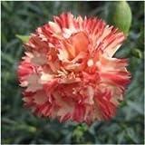500種子のパッケージ、オレンジシャーベットカーネーション(Dianthus Caryophyllus)