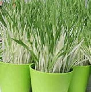 hordeum variegated cat grass