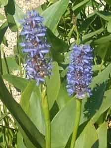 2 Pflanzen Hechtkraut Pontederia Cordata Teichpflanze Wasserpflanze bis 30cm Wasserstand, Dauerblüher aus Naturteich