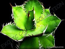 Rare Agave TITANOTA Green @ j @ Hardy exotique Aloe Succulent Rose Seed 100 graines