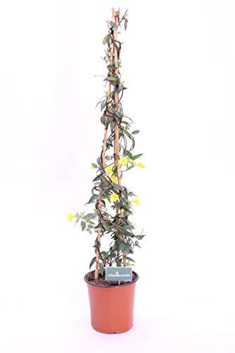 pianta di gelsomino sempreverde o gelsemium sempervirens pianta da esterno pianta rampicante
