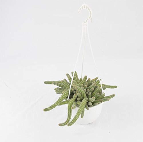 Pianta Grassa Echinopsis Chamaecereus o Chamaecereus Silvestrii, vaso in Basket