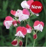 Vente chaude 10 graines Sweet Pea (Lathyrus odoratus) semences belle plante bonsaï fleur maison jardin