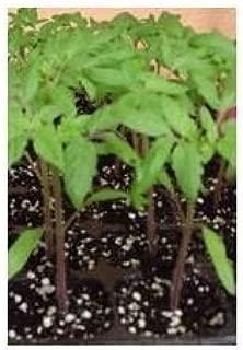 PLANTEL TOMATE ROSA DE BARBASTRO 12 PLANTAS: Amazon.es: Jardín