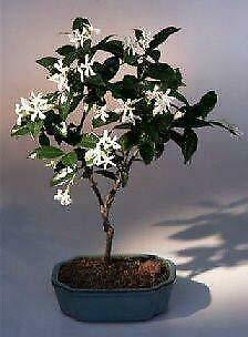 Tree Plant - Jasmine Bonsai Flowering Winter Outdoor Tree Jasminum Nudiflorum 6 y/o 15' Tall