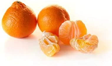 Owari Satsuma Tree - Large Citrus Trees - Pick Satsuma Citrus The First Year! (2-3 ft.)