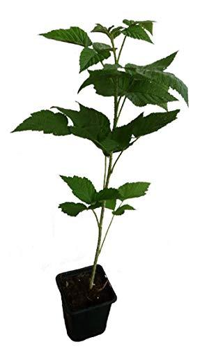 Himbeere Autumn Happy ® Pflanze neue dornenlose Herbsthimbeere mit riesigen Früchten
