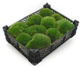 Kiste 40x30x8 cm frisches Premium Kugelmoos, echtes natur Moos Dekomoos Prime Bollenmoos amazon Hügelmoos Mooskissen bestellen Kissen Kugeln Deko echtes Moss kaufen