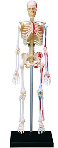立体パズル 4D VISION 人体解剖 No.08 全身骨格解剖モデル