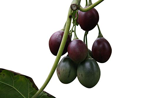 Tamarillo (Tropischer Tomatenbaum) (Cyphomandra betacea) 10 Korn