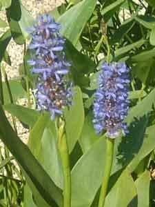 6 Pflanzen Hechtkraut Pontederia Cordata Teichpflanze Wasserpflanze bis 30cm Wasserstand, Dauerblüher aus Naturteich