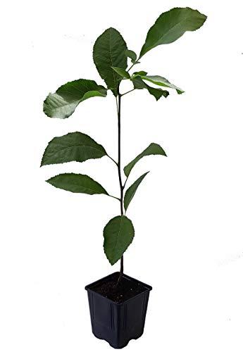 Seedeo® Pekannuss (Carya illinoinensis) ca. 20 cm - 30 cm