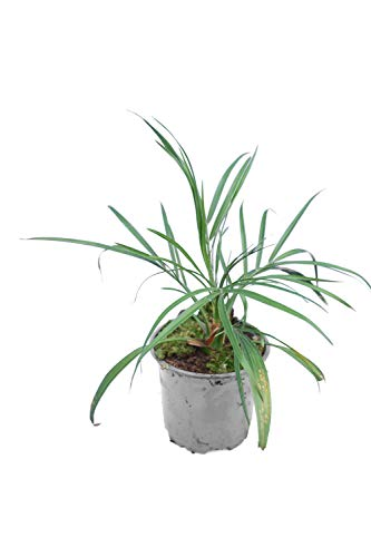 Phoenix roebelenii, Palme, Zwergdattelpalme, Gesamthöhe: 40-50cm, Topf: Ø 13cm