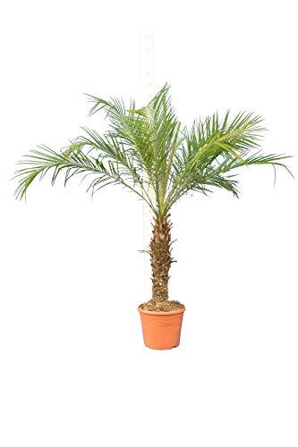 Phoenix roebelenii, Palme, Zwergdattelpalme - Gesamthöhe: 140-180 cm, Stamm 60-80cm Topf: Ø 35 cm
