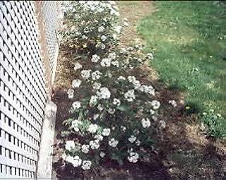 Viburnum Carlesii Compactum Koreanspice Fragrant Seeds AMND-493