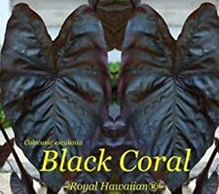 Cutdek ~Black Coral~ Colocasia esculenta Royal Hawaiian Elephant Ear sml potd Plant