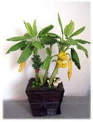 Musa - Gelb Zwerg-Banane 5 Samen