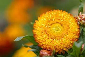 Semillas BloomGreen Co. Flor: las semillas de flor de oro eterno para las semillas de plantas con flores Roof Garden jardín jardinería [Semillas Home Garden Eco Pack] Semillas de la planta