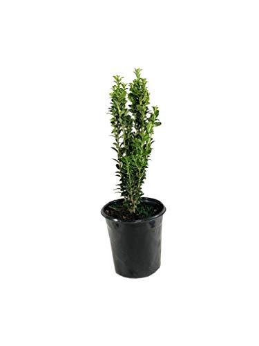 Sky Pencil Japanese Holly - Live Plant in a 6 Inch Pot - Ilex Crenata Sky Pencil - Easy Care Ornamental Evergreen Shrub