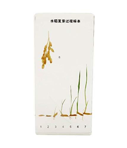 Albb Geschiedenis van de groei van de plantenspecialisten – rijst / ble/ pinda/huis / zorho/feves ziektekiemen – transparant plantaardige hars Specimen model Biologische rijst
