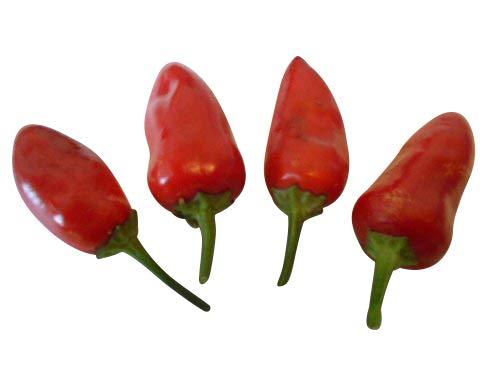 Tolles Aroma! eine der schärfsten Chilis der Welt in braun Bhut Jolokia Choco