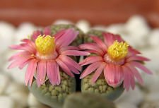 Lithops verruculosa cv Rose du Texas, Living Stone Stone Rock Seed 30 graines