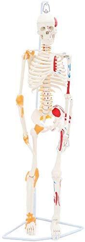 ZTMN Torso Human Body Modell des Bildungsmodells Modell des menschlichen Skeletts mit Muskeln und Bändern