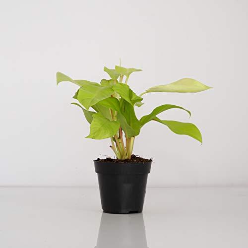 Indoor-Helden Philodendron 'Malay Gold' – Baumfreund, rankende, kletternde Zimmerpflanze luftreinigend