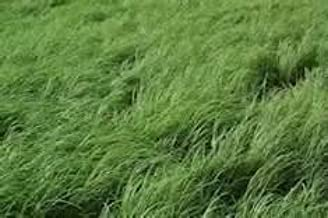 Teff Grass Seed (Annual Warm Season, Great Horse Hay) - 5 Pound - Wizard Seed LLC
