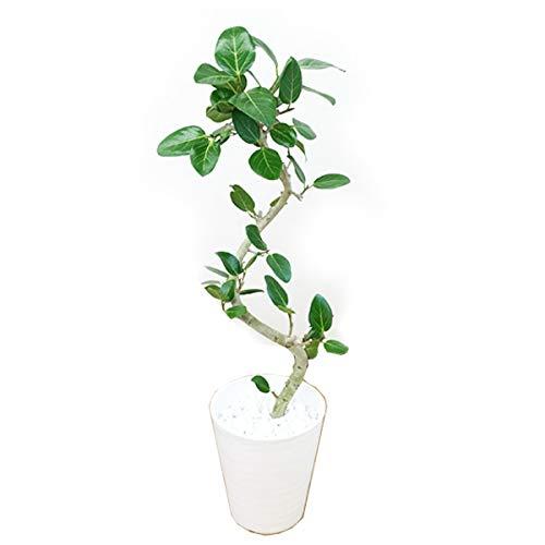 フィカス ベンガレンシス S字仕立て 観葉植物 本物 ホワイトセラアート鉢 ベンガルゴムの木 ベンガル ベンガルゴム ゴムの木 インテリア 8号 大型 中型