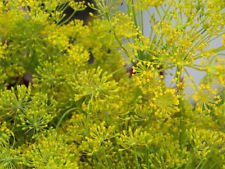 aneth, BOUQUET DILL, jardin d'herbes aromatiques, 75 GRAINES! Groco